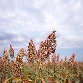 image of sorghum  - Ripe sorghum in under sky in autumn  - JPG