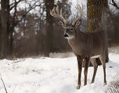 stock photo of buck  - Large whitetail deer buck stands on a hillside in the snow - JPG