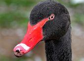 picture of black swan  - Head of wild Australian Black Swan at British lake - JPG