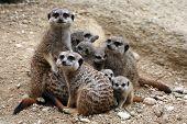 foto of meerkats  - Meerkats  - JPG