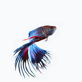 stock photo of fighter-fish  - close up siamese blue crown tail fighting betta fish isolated white background