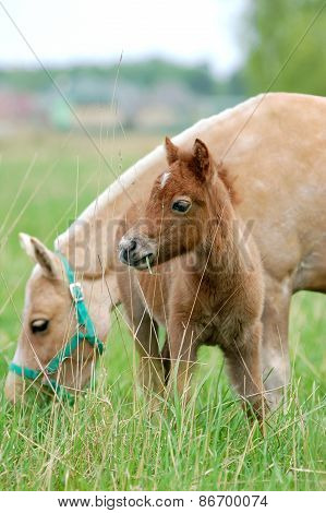 Pony With Foal On A Pasture