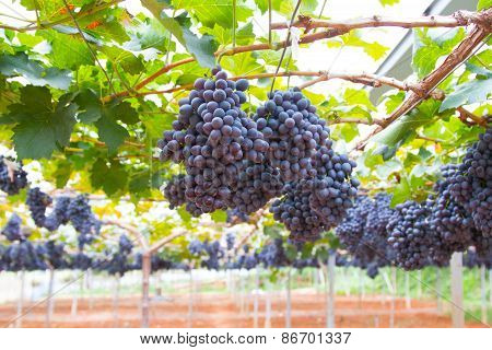 Large bunch of red wine grapes hang from a vine, warm. Ripe grapes with green leaves. Nature backgro