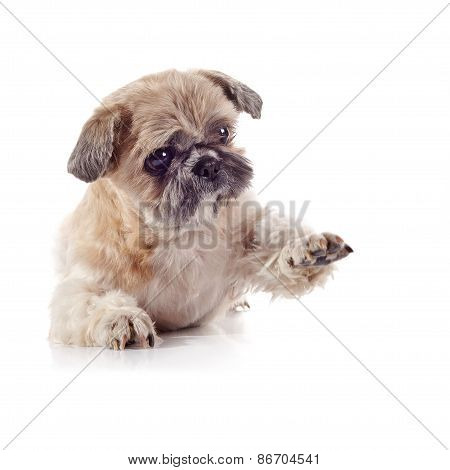 Decorative Amusing Small Doggie Of Breed Of A Shih-tzu