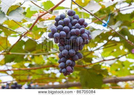 Large bunch of red wine grapes hang from a vine, warm. Ripe grapes with green leaves