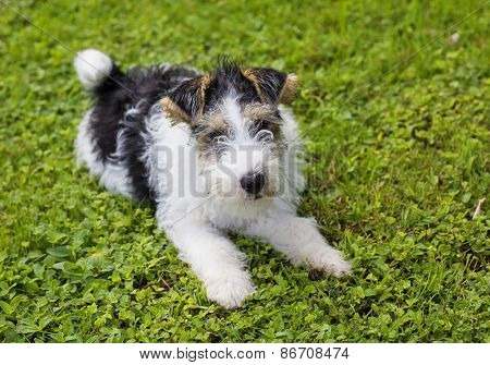 Cute wire fox terrier puppy.