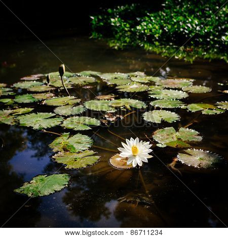 White Lotus Waterlily Flower