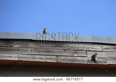 House Sparrow Couple On Roof