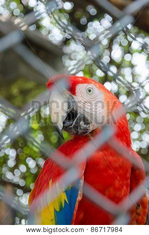 Red Parrot Behind Fence