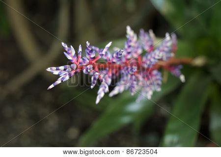 Violet-white Bromelia