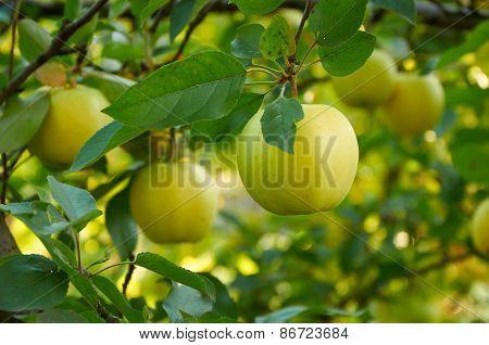 Autumn Apple Garden
