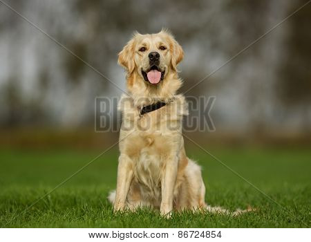 Golden Retriever Dog On Sunny Day