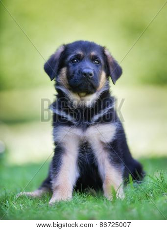 Six Week Old German Shepherd Dog