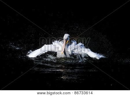 Big white pelican