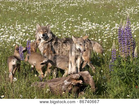 Wolf Puppies Hanging Out in Wildflowers