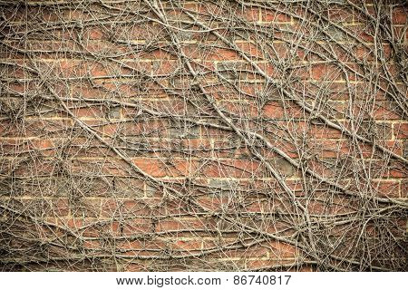 Red Brick Wall Background And Dry Ivy Plants