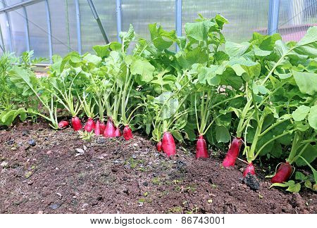 Ripe Oval Red Radishes In The Garden