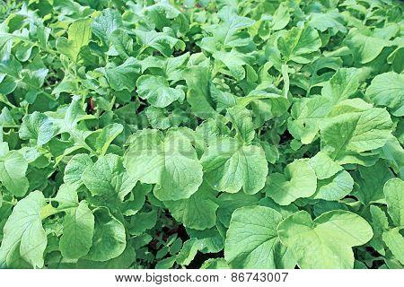 Background Of Juicy Foliage Radish