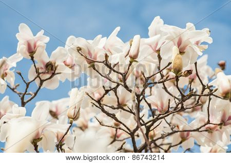 White  Magnolia Flowers with sky