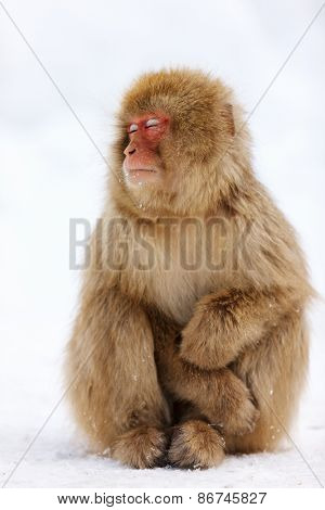 Snow Monkey Japanese Macaque on snow at winter in Nagano, Japan
