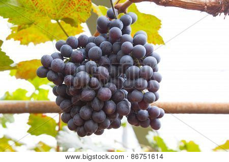 Bunche of blue grapes on vine