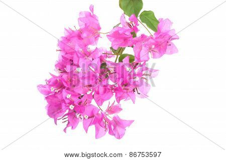 Bright Bougainvillea Flowers Isolated On White Background
