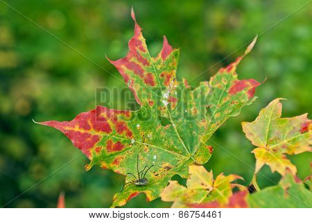 Strong and colorful maple leaves on a twig.
