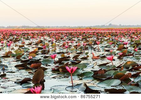 Sea Of Red Lotus.