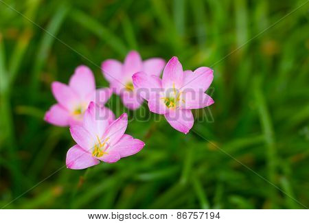 Zephyranthes Lily Rain Lily Fairy Lily Little Witches