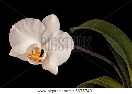 white orchid flower isolated on black