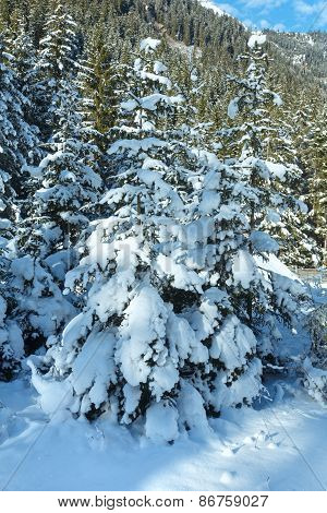 Snowy Fir Trees.