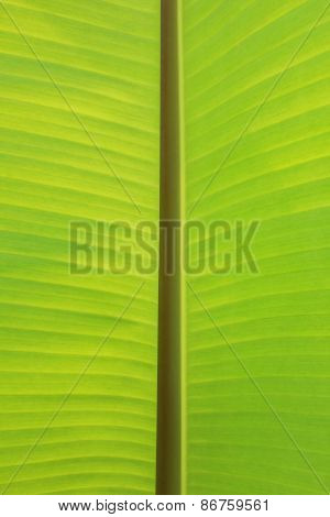 Vertical Background and Texture of Banana Leaf and Stem