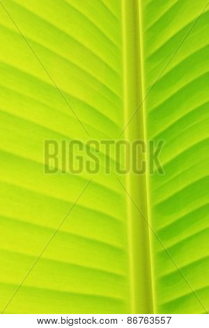 Background and Texture of Vertical Banana Leaf and Stem