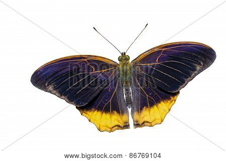 Isolated The Royal Assyrian Butterfly