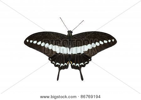 Isolated Banded Swallowtail Butterfly (papilio Demolion)