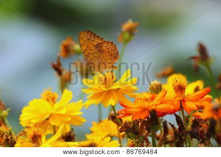 Butterfly On Yellow Cosmos Flower , Focus On Middle Flower And Butterfly