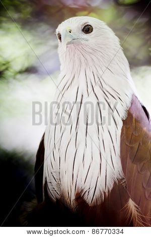 Brahminy Kite (red-backed Sea Eagle)