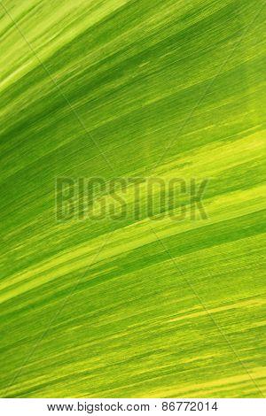 Texture Of Banana Leaf From Banana Tree