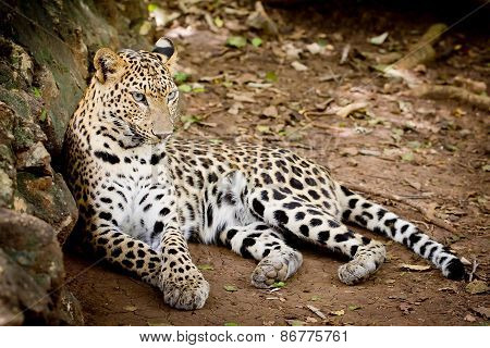 Angry Wild Leopard