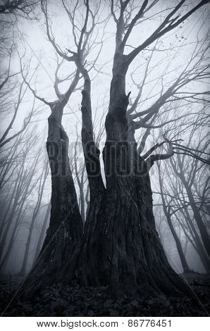 Trees in Haunted forest with fog on halloween
