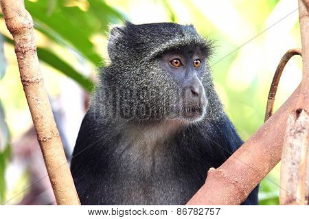 Portrait Of A Blue Diademed Monkey
