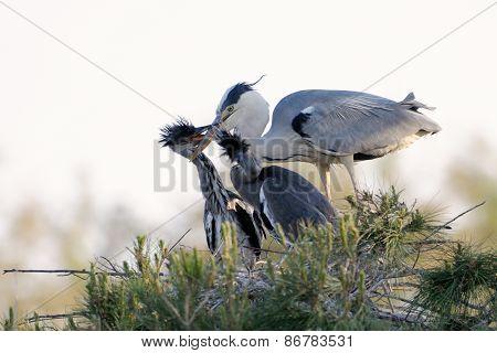 Grey Heron on nest