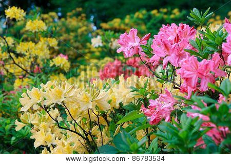 Blossoming Of Pink And Yellow Rhododendrons And Azaleas
