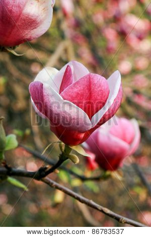 Blossoming Of Magnolia Flowers In Spring Time