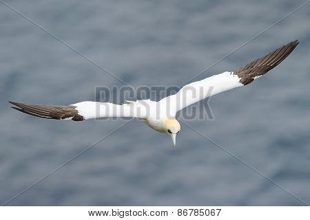 Gannet flying above the ocean.