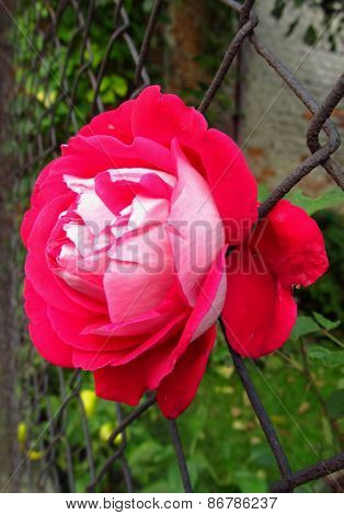 red rose in the fence