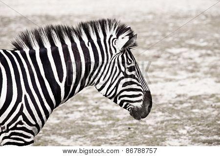 Zebra Horse