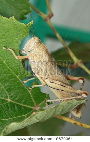Locusts Eat.