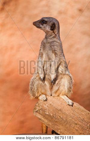 One Standing Alert Mercats (surikata)