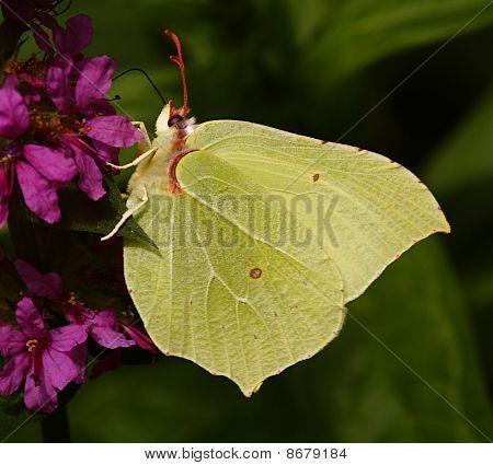 Brimstone Butterfly feeding on Purple flower